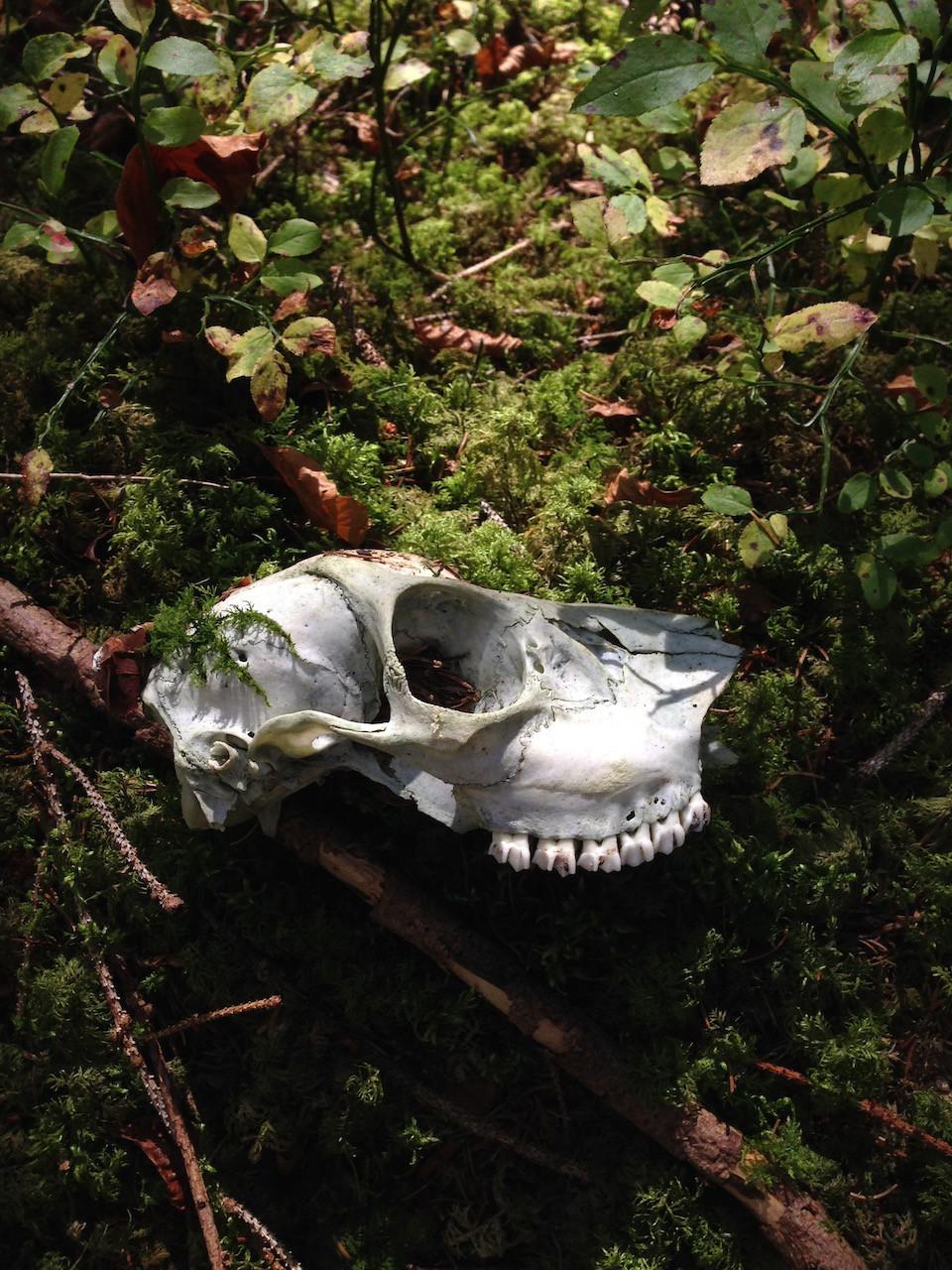 Dead animal head