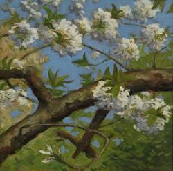 Cherry Blossoms, oil, 16 x 16