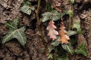 Copper Oak Leaf Earrings by CRZyBest