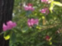 wild rhododrons.jpg