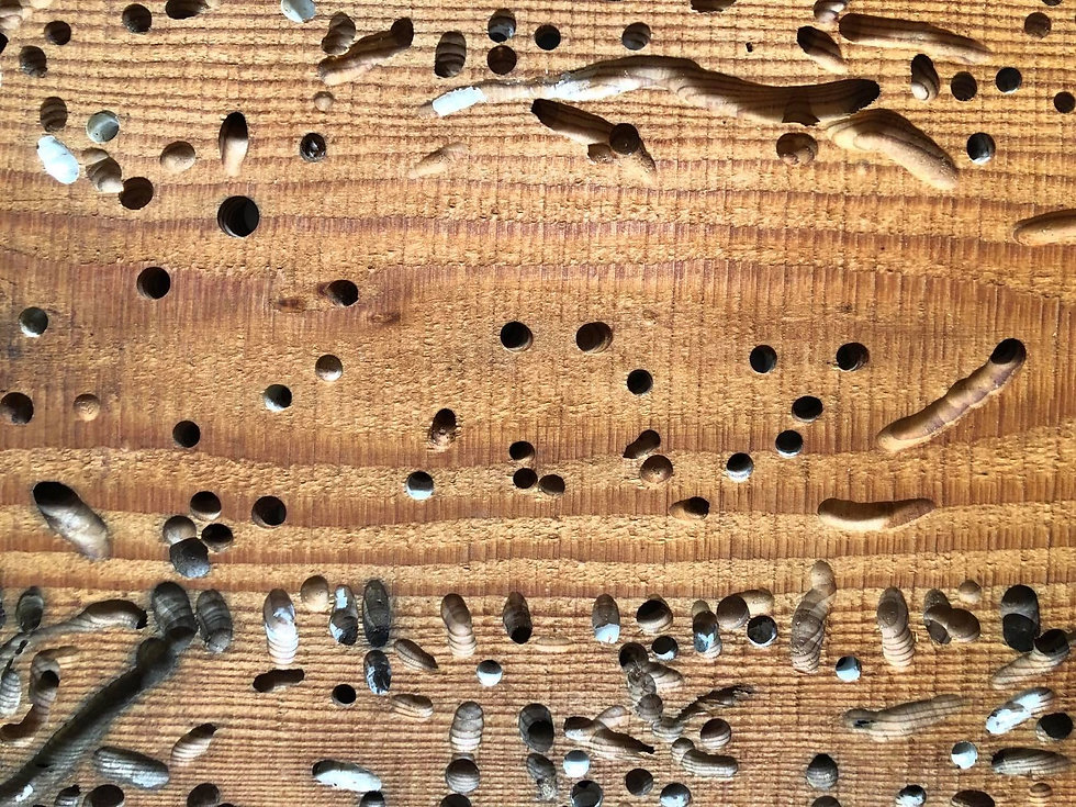 Teredo Wood.jpg