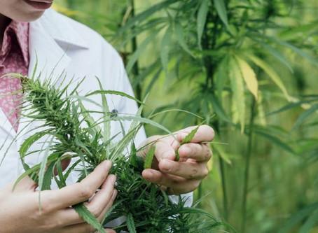 Bíblia da Cannabis Traduzida
