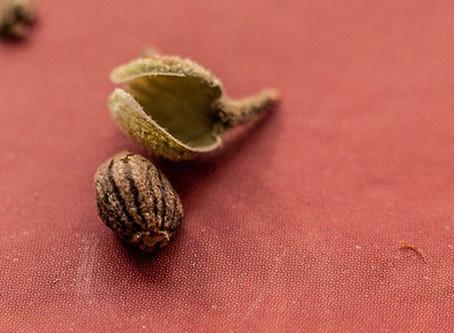Importar semente de cannabis não é crime, segundo MP