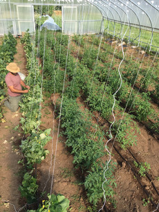 Trellising cukes and tomatoes in the hoophouse