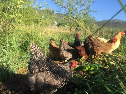 Heritage hens enjoying some farm scraps in the field