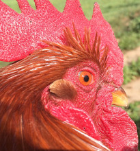 Bob the Rooster in all of his fiery glory