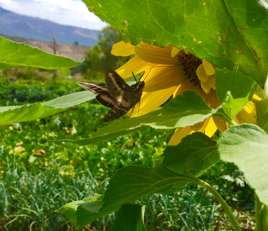 A hummingbird moth snacking around in the sunflowers