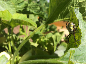Garden spiders are a sign of good soil health!