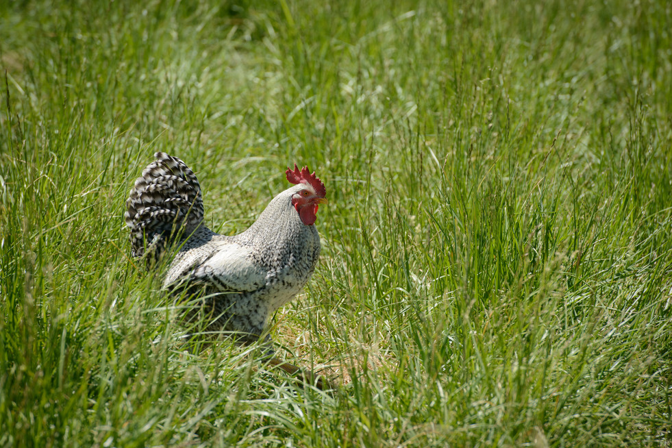 Rufio the Rooster