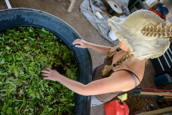 Cleaning lettuce in the pack shed