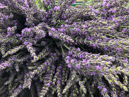 Freshly Harvested Grosso Lavender