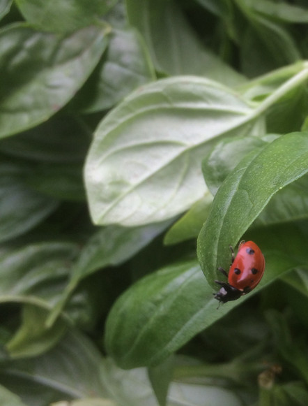 Ladybugs in the basil beds