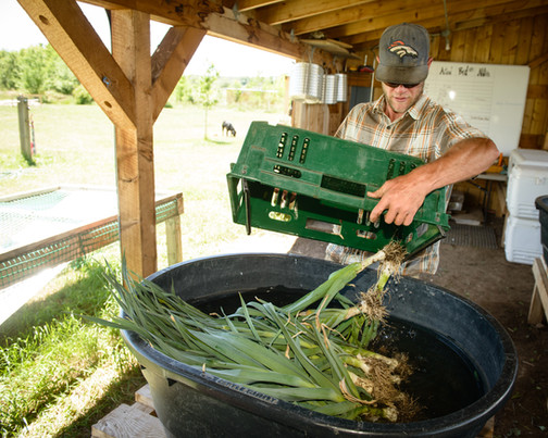 Washing overwintered leeks