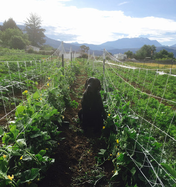 Elko enjoying the cucumber patch