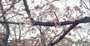 黒鳥山公園2019.3.29