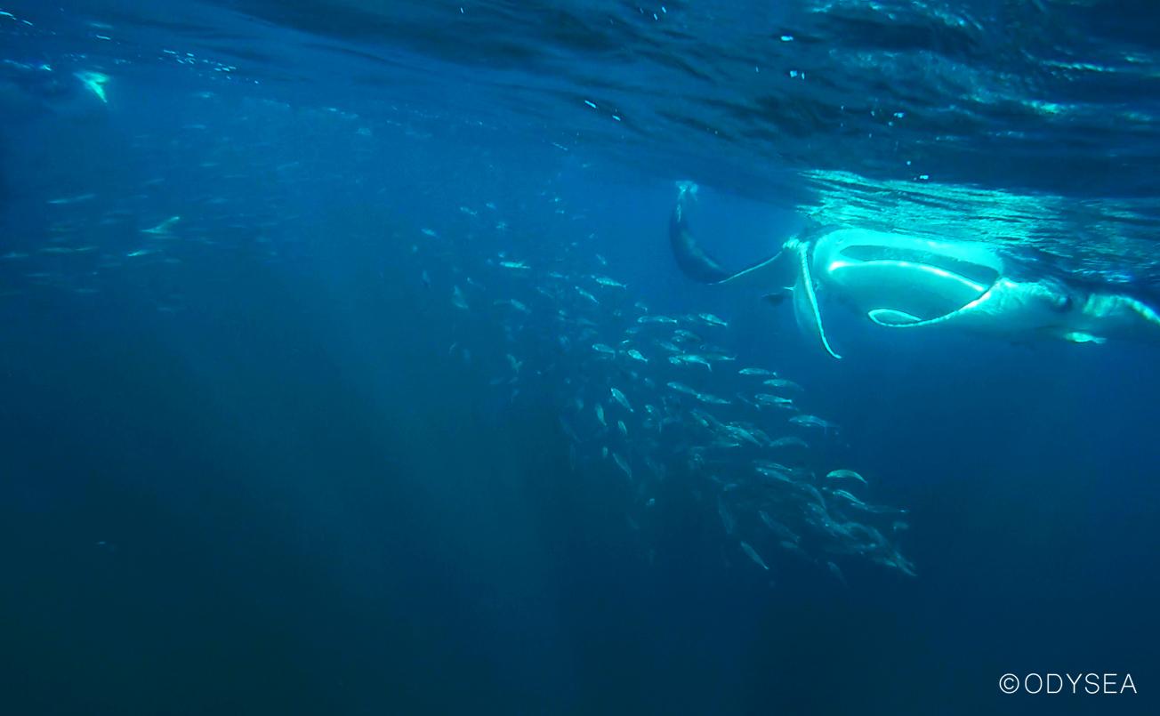 manta blue