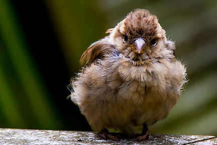 Sparrows In The Garden