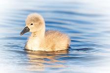 (157) Too cute_A mute swan chick venture