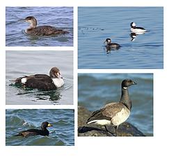 Winter Shorebirds