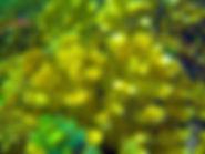 Pocillopora eydouxi 04 10x7.jpg