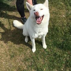 Zane - Male, Husky