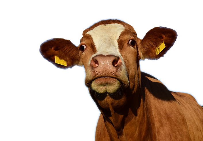 Cow no horns.png