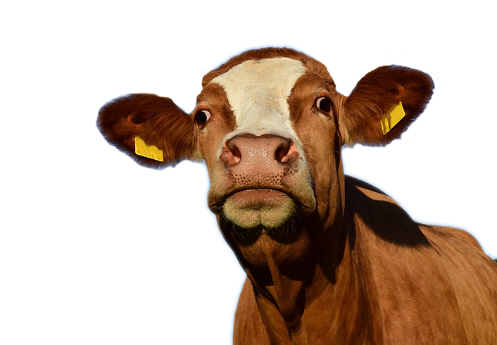 Cow no horns.png