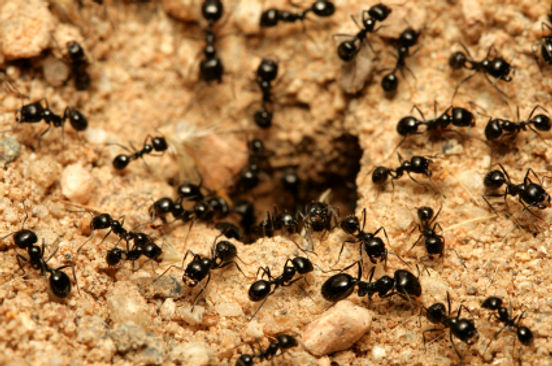 Foraging ants