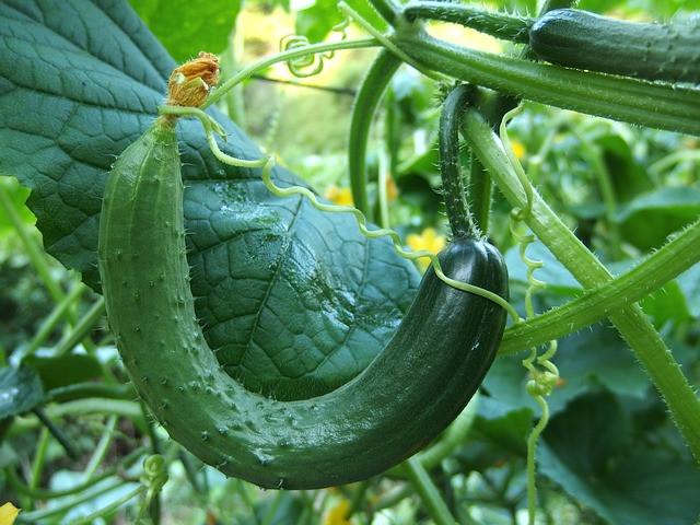 Premalo vode - premalo kalcija = zvijanje plodov