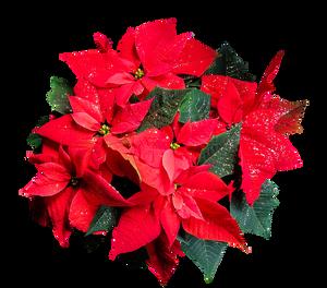 Božična zvezda-vzgoja in nega