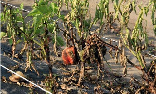Gniloba plodov paprike - avtor Hortomallas