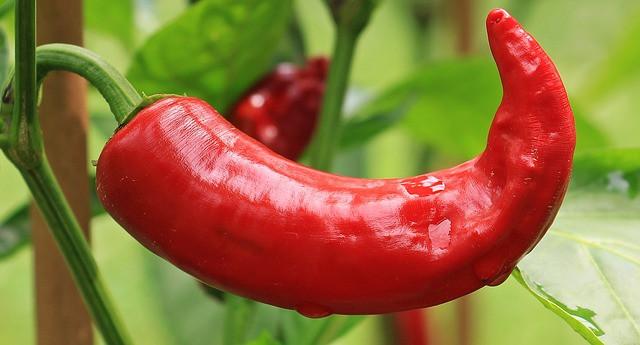 Paprika je občutljiva rastlina