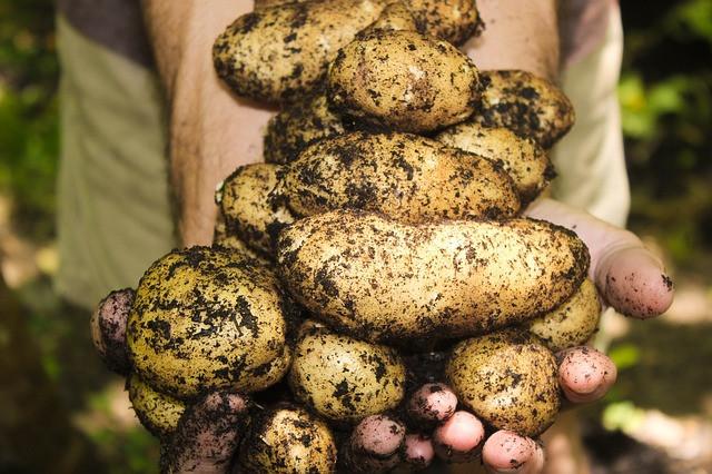 Sajenje krompirja na vrtu