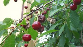 Bolezni sadnega drevja