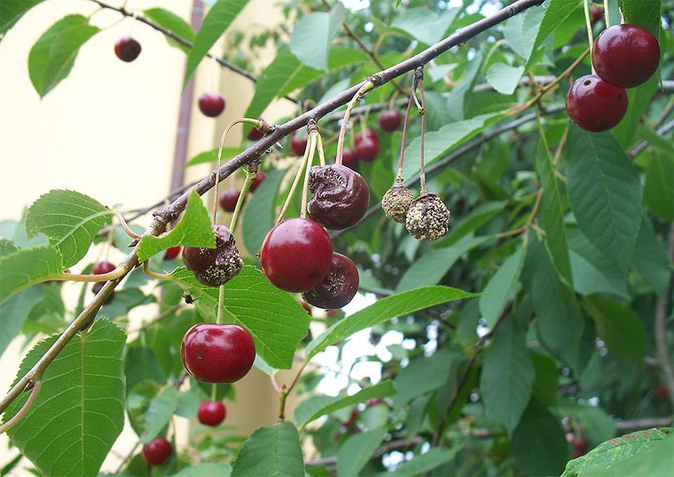 Bolezni sadnega drevja, kako jih preprečiti?