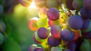 Oidij - pepelasta plesen vinske trte