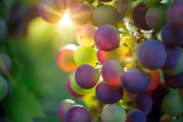 Toplo in suho vreme povzroči oidij na vinski trti