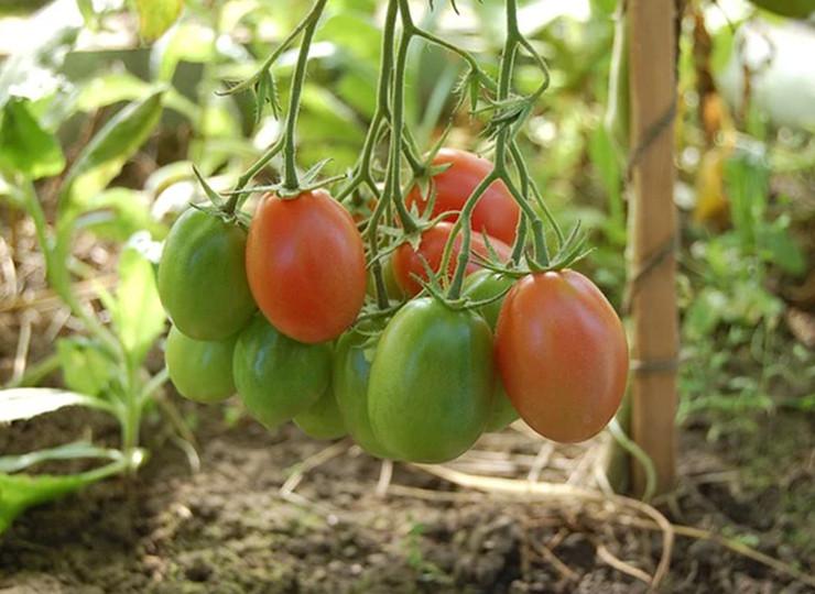 Dobri sosedje paradižnika zagotavljajo boljši pridelek