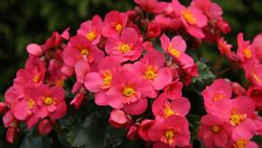 🌼 Gomoljna begonija - rastlina za vsako korito