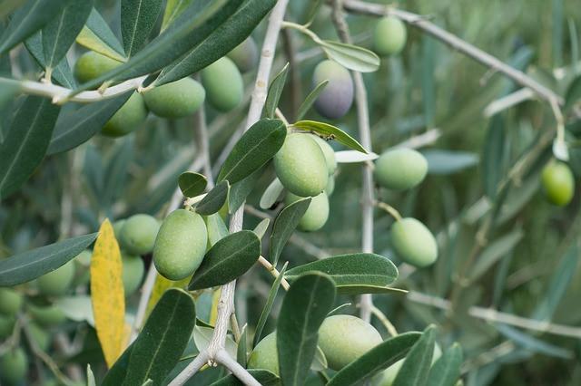 Znaš preprečiti napad oljčne muhe?