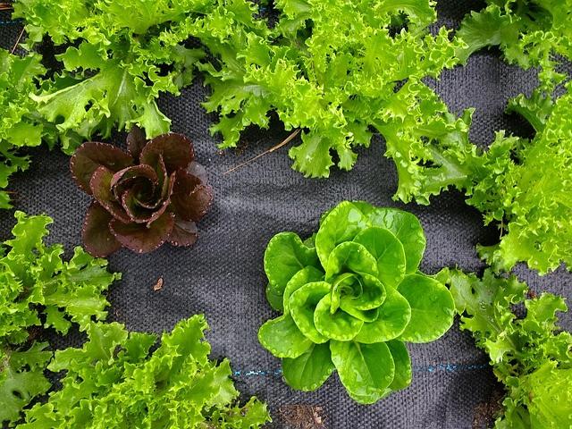 Uporaba folije zmanjšuje  vlažnost listov