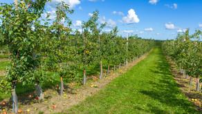 Razdalje sajenja sadnega drevja med sadikami