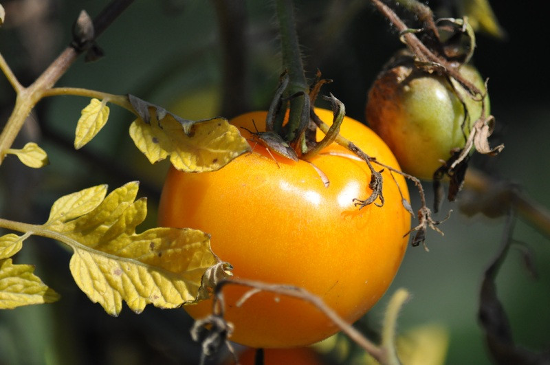 Bolezni paradižnika - preventiva je 80% kurative