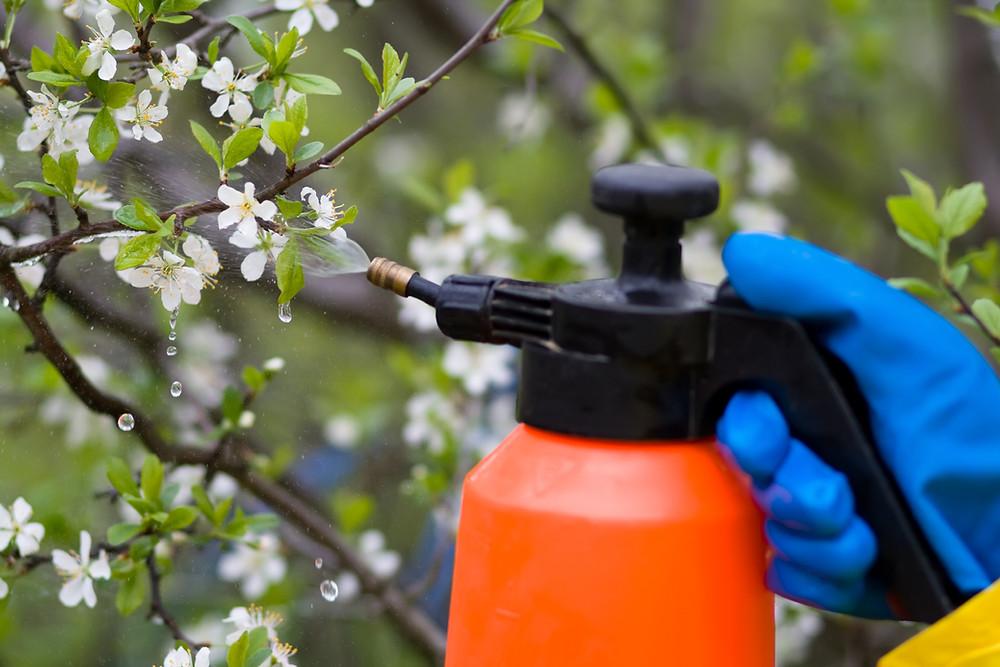 Poznate pravila za škropljenje sadnega drevja?