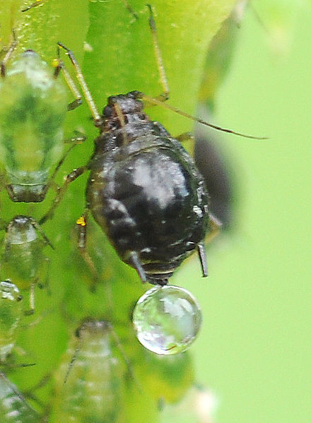 Listne uši izločajo hrano za mravlje imenovano mana