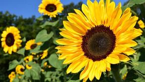 Sončnica, 🌻 vaše ☀️ v vrtu