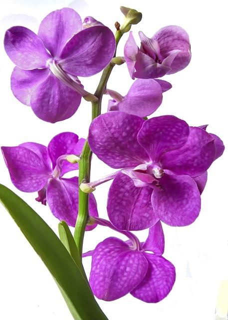 Vanda - najlepša in najbolj zahtevna orhideja