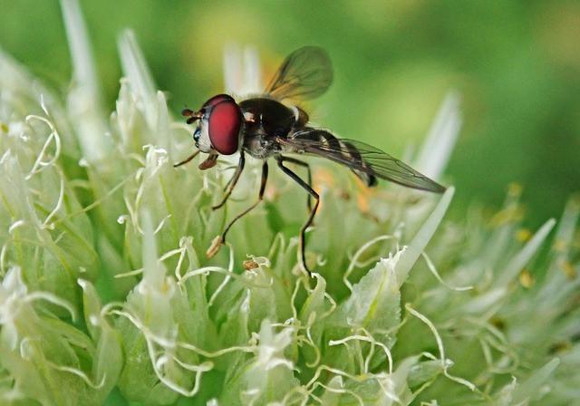 Čebulna muha na cvetovih