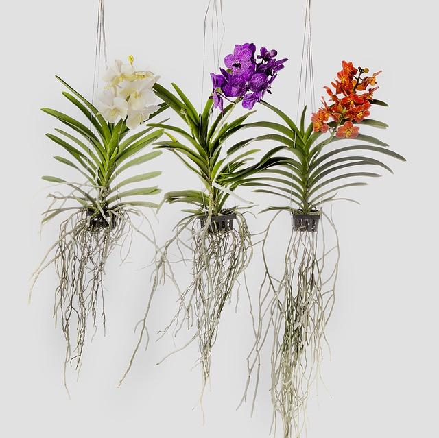 Orhideje lahko poženejo zelo dolge korenine