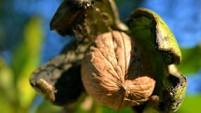 Navadi oreh - zdravlje v lupini